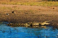 鳄鱼休息的和冷却的河边区Chobe博茨瓦纳非洲 库存图片