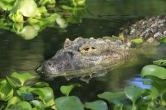 鳄鱼似亚马逊巴西 免版税库存照片