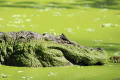 鳄鱼似亚马逊巴西 库存照片