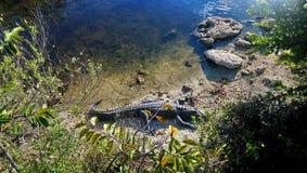 鳄鱼佛罗里达 库存图片