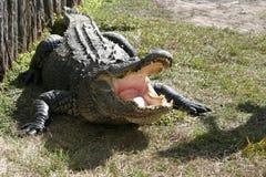 鳄鱼佛罗里达 免版税库存照片