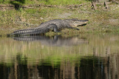 鳄鱼佛罗里达 免版税库存图片