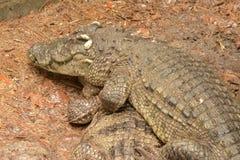 鳄鱼再生产 免版税库存照片