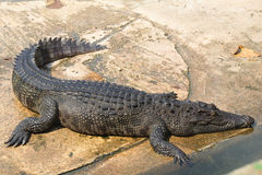 鳄鱼农场和动物园,鳄鱼农场泰国 免版税库存照片