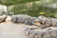 鳄鱼农场和动物园 免版税库存图片