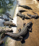 鳄鱼农场 免版税库存照片