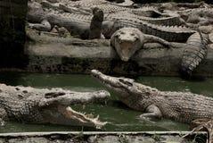 鳄鱼农场 库存图片