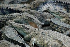 鳄鱼农场 库存照片