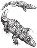 鳄鱼剪影 库存图片