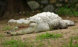 鳄鱼印地安人 库存图片