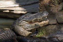 鳄鱼危险 免版税库存照片