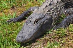 鳄鱼取暖在阳光下 免版税库存照片