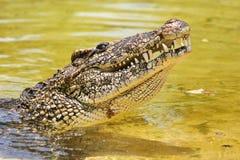 鳄鱼古巴人 库存照片