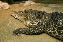鳄鱼古巴人 库存图片