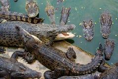 鳄鱼吃其他的其中每一条 免版税库存照片
