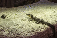 鳄鱼和乌龟在岩石 图库摄影