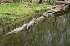 鳄鱼和乌龟在日志 免版税库存照片