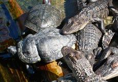 鳄鱼和乌龟在默特尔海滩水族馆 库存照片