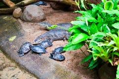 鳄鱼和乌龟 库存照片