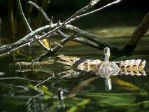 鳄鱼和乌龟 免版税库存照片
