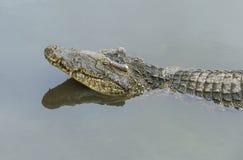 鳄鱼和它的反射的头在河 免版税库存照片