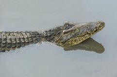 鳄鱼和它的反射的头在河 免版税库存图片