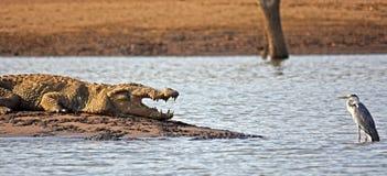 鳄鱼和灰色苍鹭对恃 免版税库存图片