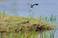 鳄鱼和苍鹭 库存图片