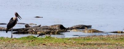 鳄鱼和鹳鹳在水牛哺养死了,乔贝国家公园 图库摄影