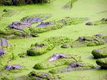 鳄鱼和aligators在水中,沼泽地 免版税库存照片