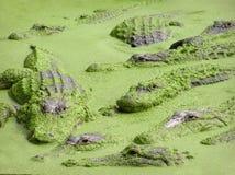 鳄鱼和aligators在水,佛罗里达中 免版税库存照片