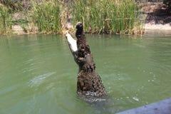 鳄鱼哺养 库存照片