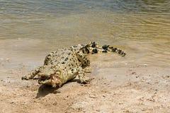 鳄鱼哺养 库存图片