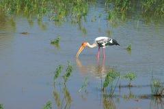 鳄鱼在一个浅湖寻找一哺养的marabu 斯里南卡 免版税库存图片