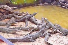 鳄鱼在一个鳄鱼动物园在古晋,沙捞越里开心 免版税库存图片