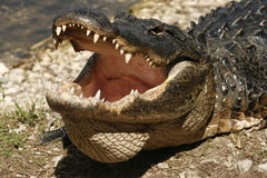 鳄鱼在佛罗里达沼泽地  库存图片