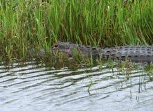 鳄鱼在佛罗里达 图库摄影