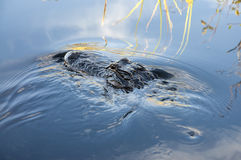 鳄鱼在佛罗里达 库存照片