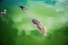 鳄鱼在农场池塘  免版税库存照片