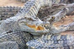 鳄鱼在农场 免版税图库摄影