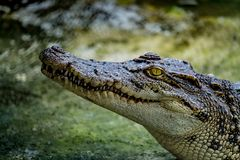 鳄鱼在动物园里 库存图片