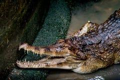 鳄鱼在动物园里 库存照片