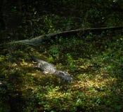 鳄鱼在南佛罗里达 图库摄影