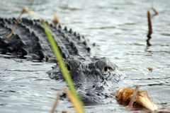 鳄鱼在大沼泽地国家公园,佛罗里达,美国 库存照片