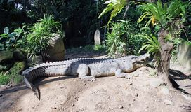 鳄鱼在太阳下的一个密林 免版税库存图片