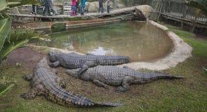 鳄鱼在封入物 免版税库存图片