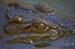 鳄鱼在尼罗河 库存图片