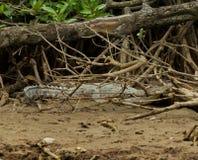 鳄鱼在文莱达鲁萨兰 免版税库存图片
