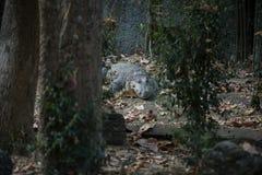 鳄鱼在森林里 免版税图库摄影