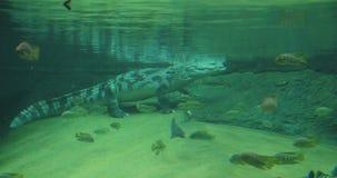 鳄鱼在水中游泳 影视素材